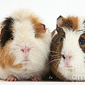 Two Guinea Pigs by Mark Taylor