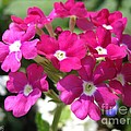 Verbena From The Ideal Florist Mix by J McCombie