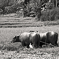 Water Buffalo by Jane Rix