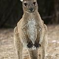 Western Grey Kangaroo by Tony Camacho