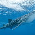 Whale Shark, Ari And Male Atoll by Mathieu Meur