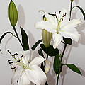 White Lily Spray by Carole-Anne Fooks