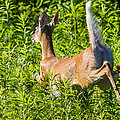 White-tailed Deer by Brian Stevens
