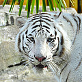 White Tiger by David Lee Thompson