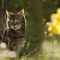 Wonky Eyed Tiger by Angel Ciesniarska
