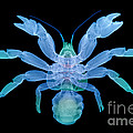 X-ray Of Coconut Crab by Ted Kinsman