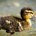 Young Duck by Mats Silvan