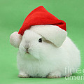 Young White Rabbit Wearing A Christmas by Mark Taylor