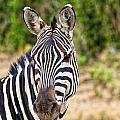 Zebras In The Masai Mara by Perla Copernik