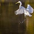 Egret by Brian Stevens