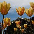 2012 Tulips 06 by Robert Torkomian