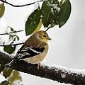 American Goldfinch by Jack R Brock