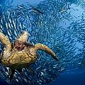 Green Sea Turtle by Dave Fleetham