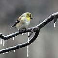 American Goldfinch by Jack R Brock