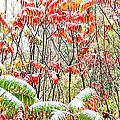 Autumn Snow Monongahela National Forest by Thomas R Fletcher