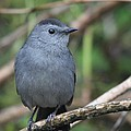 Gray Catbird by Jack R Brock