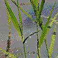 Water Reed Digital Art by David Pyatt
