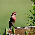 House Finch by Jack R Brock