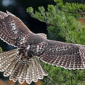 Red-tailed Hawk by Brian Stevens