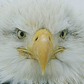 A Portrait Of An American Bald Eagle by Klaus Nigge