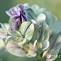 Alfalfa In Shades Of White by J McCombie