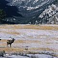 American Elk Cervus Elaphus Nelsoni by Philippe Henry