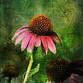 3 Amigos Echinacea Coneflower Grunge Art by Kathy Clark