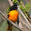 Baltimore Oriole by Doug Lloyd