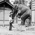Bill Snyder, Elephant Trainer by Everett