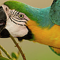 Blue And Yellow Macaw Ara Ararauna by Pete Oxford
