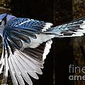 Blue Jay In Flight by Ted Kinsman
