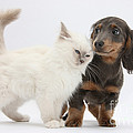 Blue-point Kitten & Dachshund by Mark Taylor
