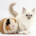 Blue-point Kitten And Guinea Pig by Mark Taylor