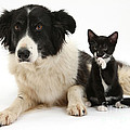 Border Collie And Tuxedo Kitten by Mark Taylor