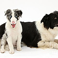 Border Collies by Mark Taylor