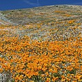 Californian Poppies (eschscholzia) by Bob Gibbons