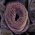 Caterpillar Foot, Sem by Steve Gschmeissner