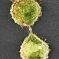 Cell Division, Sem by