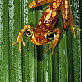 Chachi Tree Frog Hyla Picturata by Pete Oxford