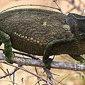 Chameleon by Mareko Marciniak