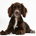 Chocolate Cocker Spaniel by Mark Taylor