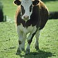 Cow by David Aubrey