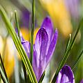 Crocuses by Kati Finell
