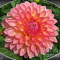 Dahlia Named Hillcrest Suffusion by J McCombie