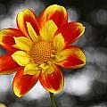 Dahlia Sun by Paul Slebodnick