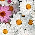 Daisy Maze by Donna Pagakis