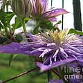 Double Clematis Named Crystal Fountain by J McCombie