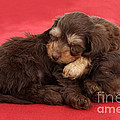 Doxie-doodle Puppies by Mark Taylor