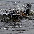 Duck Bath by Brian Stevens