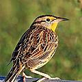 Eastern Meadowlark by Ira Runyan